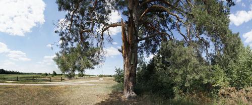 Die Bienen schaden dem Baum nicht, da seine Säfte fortsetzen, über die äußere Schicht des Holzbildungsgewebes zu fließen, und so kann der Baum noch hunderte Jahre leben