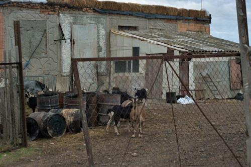 Ziegen in Mirnoje